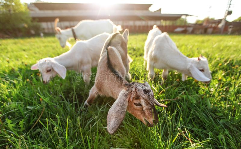 Three goat kids grazing on fresh spring grass, their blurred mother and sun backlight farm in background. Wide angle photo royalty free stock images