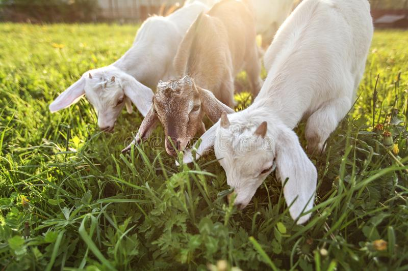 Three goat kids grazing on meadow, wide angle close photo with backlight sun royalty free stock photography