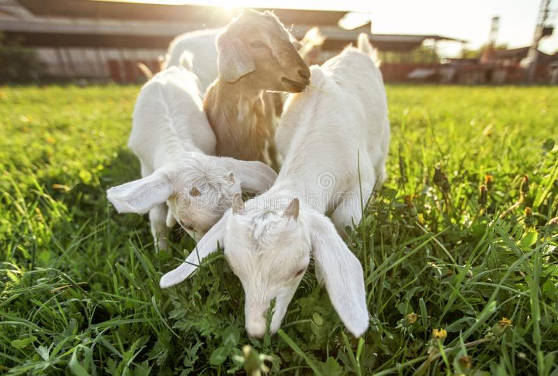 Three goat kids grazing on spring grass, strong sun backlight over farm in background, wide low angle photo.  royalty free stock photography