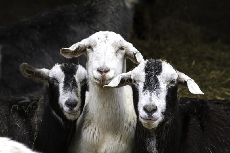 Three Goats royalty free stock photography