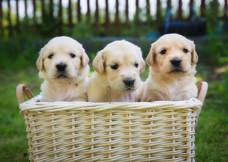 Three golden retriever puppies royalty free stock photography