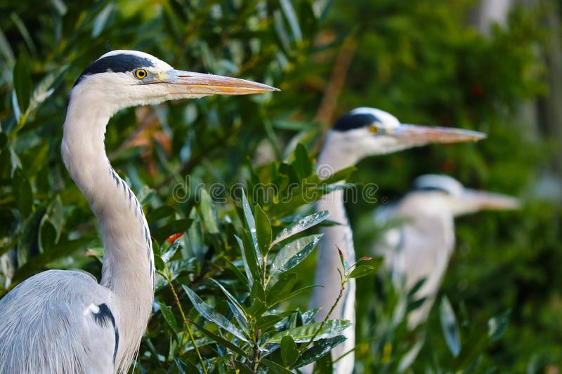 Three gray herons looking in the same direction. Three gray herons ardea cinerea looking in the same direction stock image