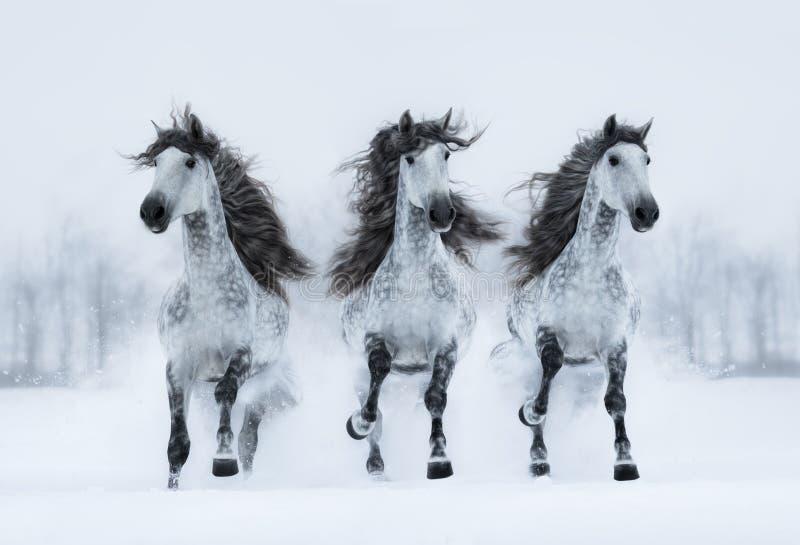 Three gray long-maned Spanish horses run gallop across field. Herd of gray long-maned Spanish horses run gallop across snowy field. Horizontal outdoors image stock photo