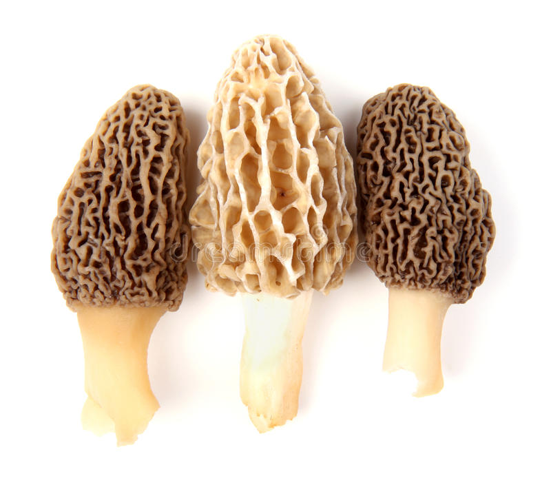 Three gray and yellow morel mushrooms. Group of one yellow and two gray morel mushrooms (Morchella esculenta) collected in a back yard in Indiana, USA, isolated stock images