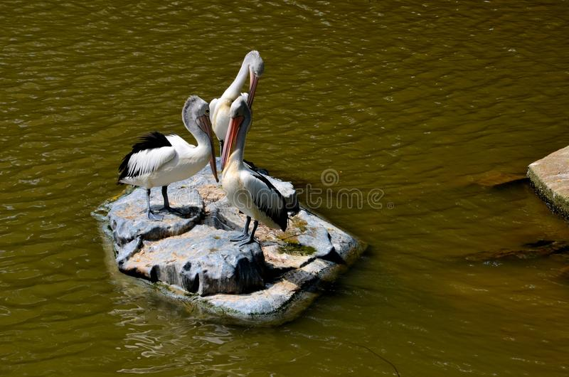 Three Great White Pelicans standing on rock in lake. Singapore - June 4, 2013: Three Great White Pelicans stand on a rock in the middle of a lake at the Jurong stock image
