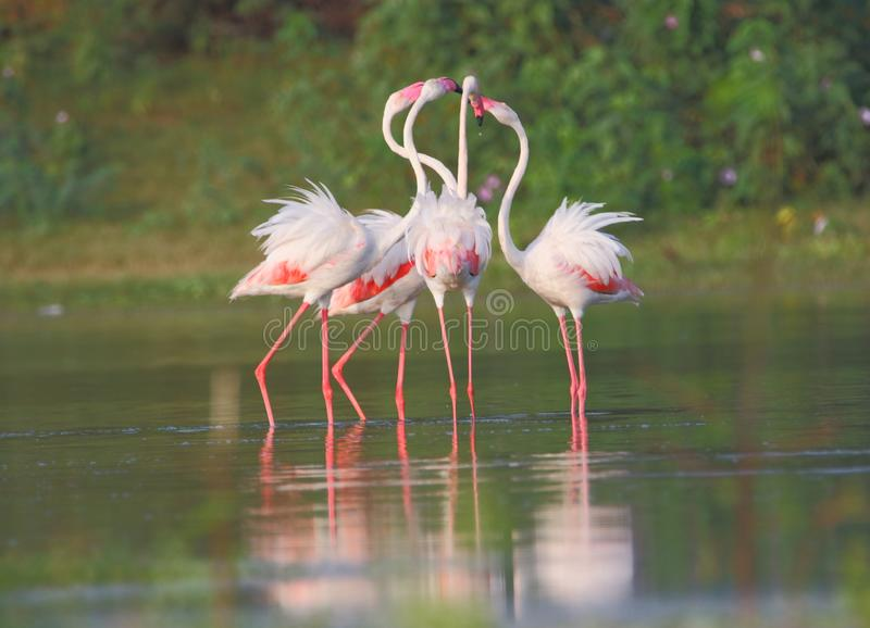 Three Greater flamingo family fun in the water. royalty free stock photos