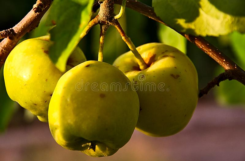 Three green apples at the tree stock photography