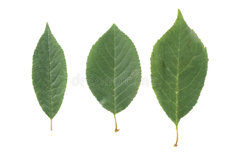 Three green leaves from fruit trees isolated on white royalty free stock photo