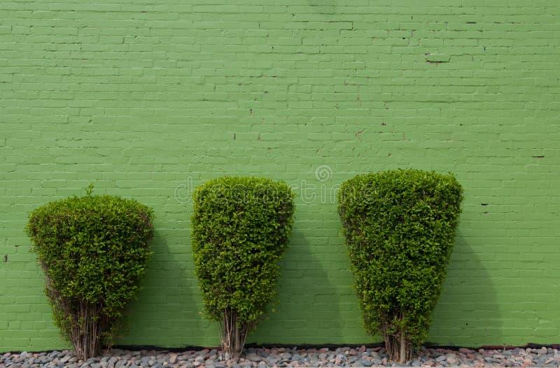 Three green shrubs against a greenw wall stock photos