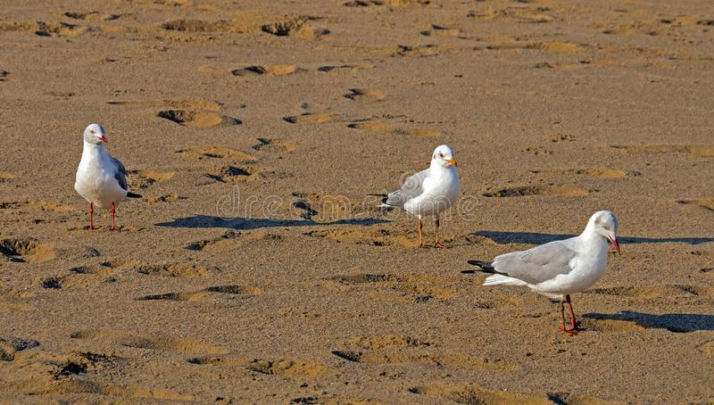 Three Grey Headed Gulls Walking on Beach Sand. Close up of three Grey Headed Gulls walking through footprints on beach sand pattern and texture stock image
