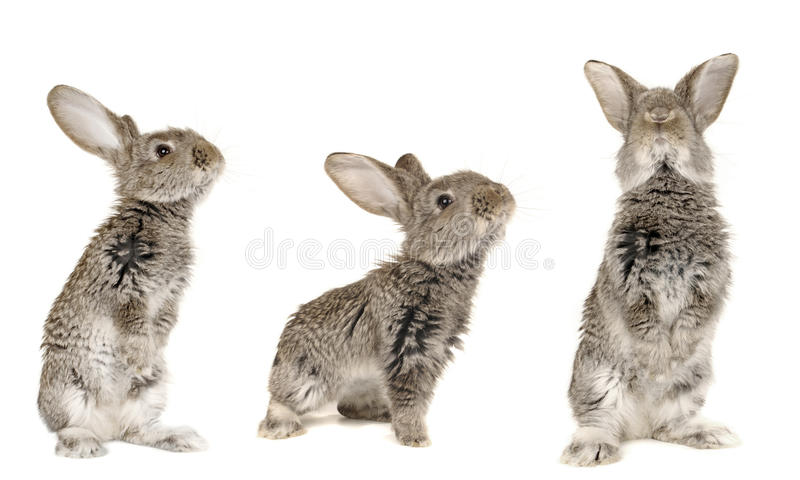 Three grey rabbit. On a white background royalty free stock photography