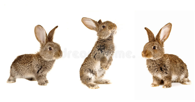 Three grey rabbit. On a white background stock photography