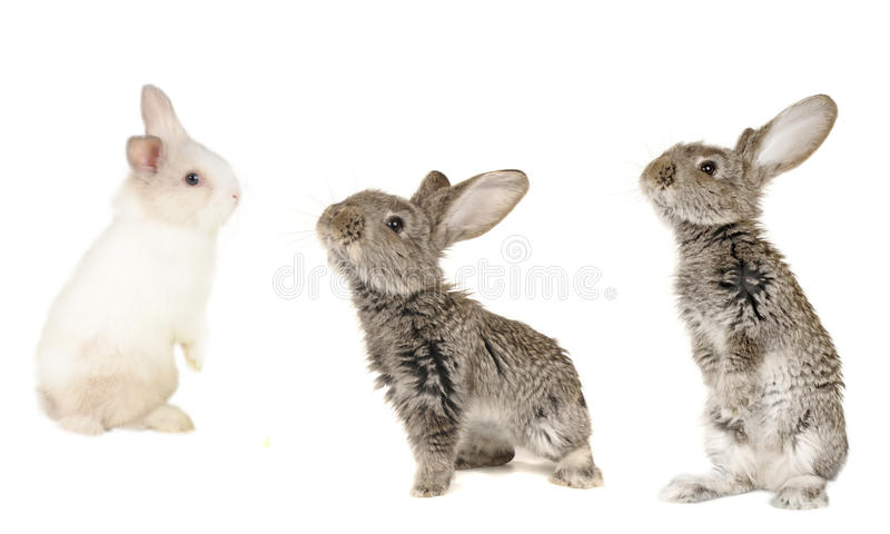 Three grey rabbit. On a white background royalty free stock image