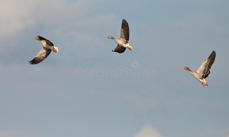 Three Greylag Geese on flight royalty free stock photos
