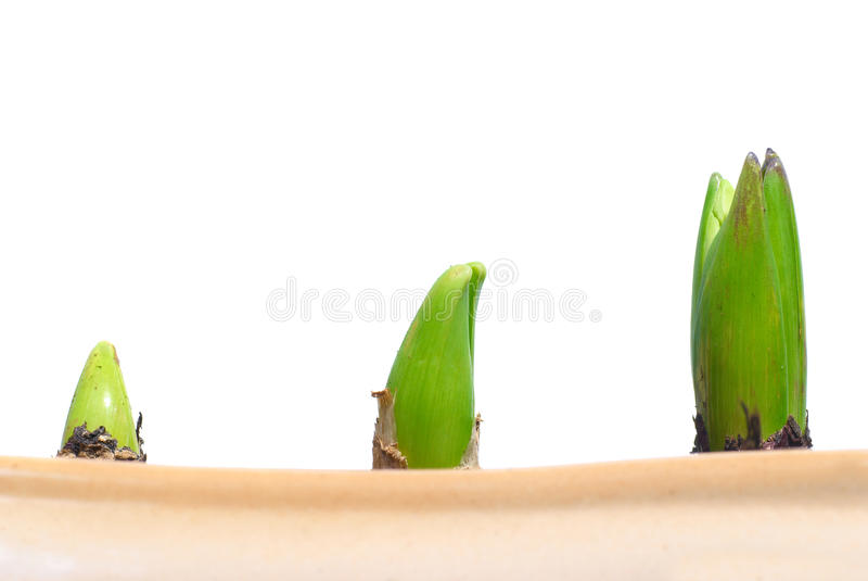 Three growing plants. In the pot isolated on white stock image