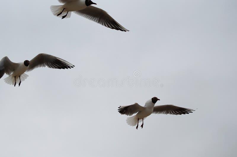 Three gulls in flight stock photo