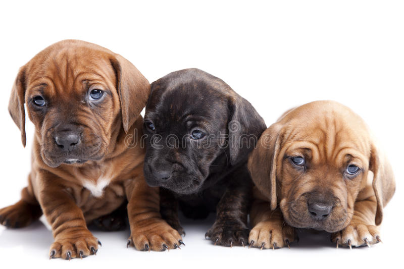 Download Three Happy Dogs  On White Background Stock Photo - Image of team, happy: 22122776
