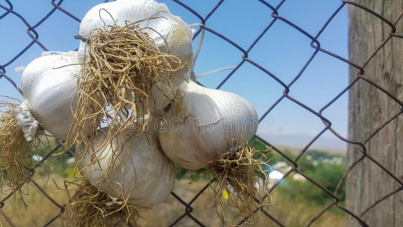 Three heads of garlic fixed on the facade of the garden for sale, the concept of seasonal diseases flu and cold. Healthy lifestyle royalty free stock photos