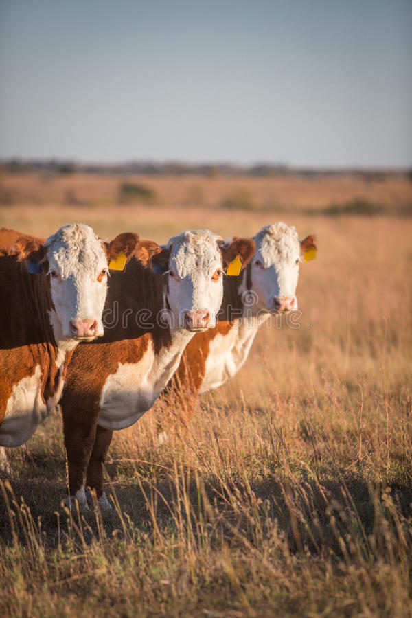 Three Hereford Cows. Vertical image of three Hereford cows lined up in a row in a pasture in Kansas stock images