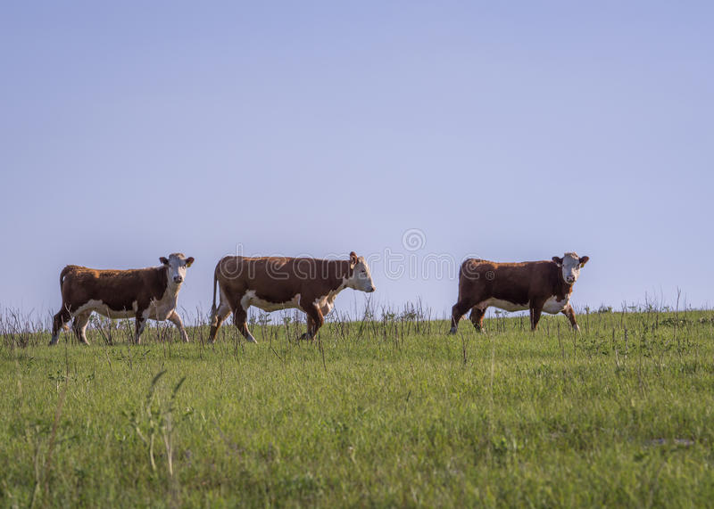 Three Hereford Cows stock image