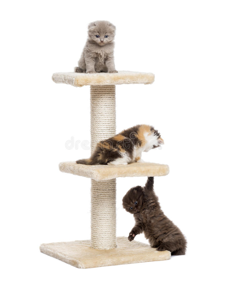 Three Highland fold or straight kittens playing on a cat tree. Isolated on white royalty free stock photo