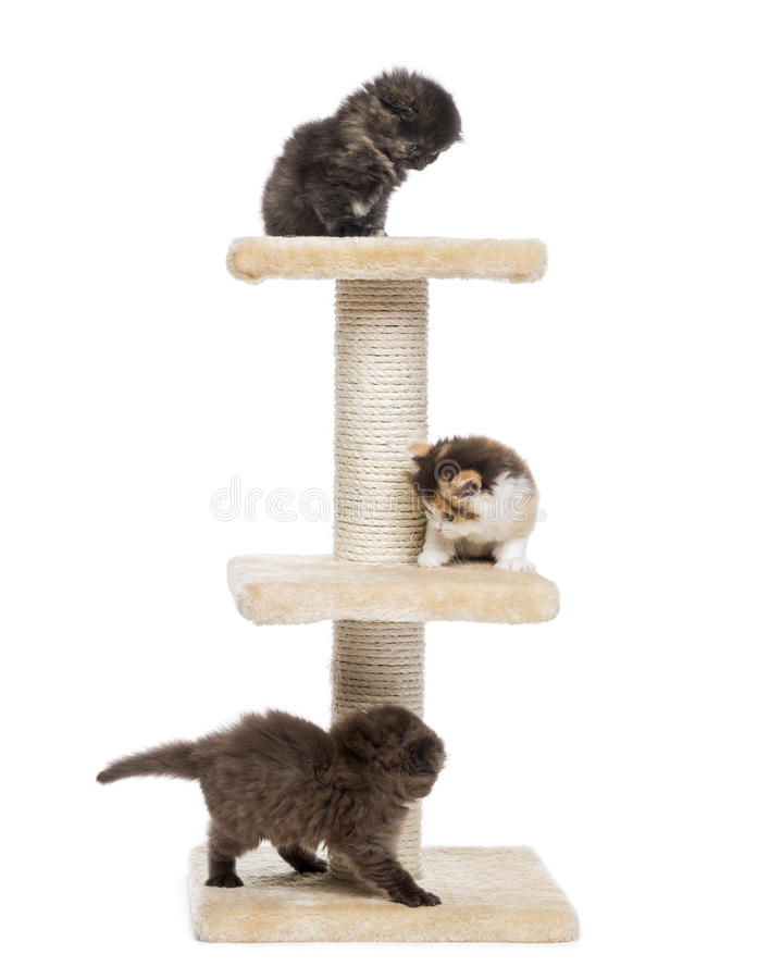 Three Highland fold or straight kittens playing on a cat tree