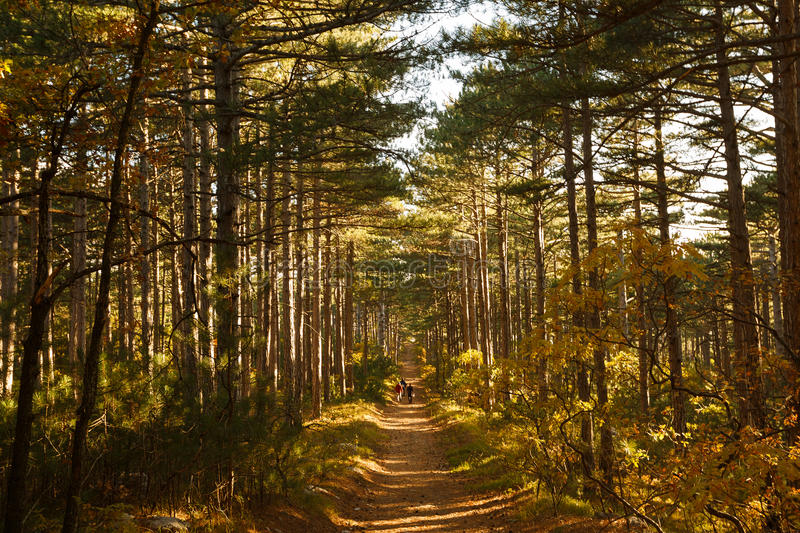 Three hikers go through a vide path in autumn mountain pine forest. Vivid yellow fall photo. Trekking sport and tourism. Three hikers go through a vide path in stock photo