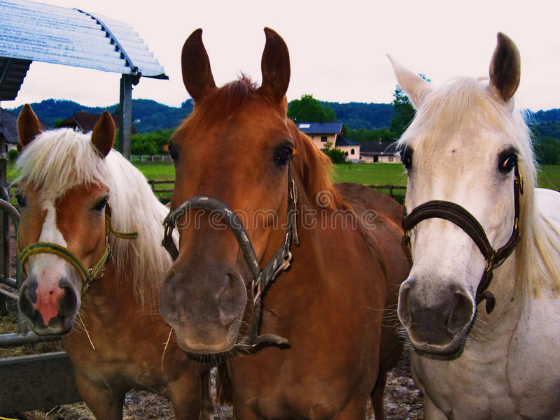 Three horses. royalty free stock images