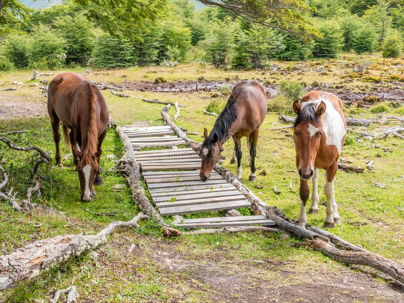 Three horses in Cerro Alarken nature reserve in Ushuaia, Tierra stock photo