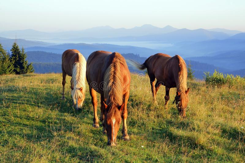 Three horses at dawn graze in the meadow on the background of silhouettes of mountains stock image