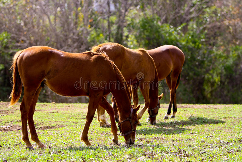 Three horses eating stock image