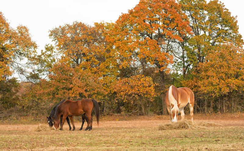 Three horses eating hay off the ground in pasture royalty free stock photos