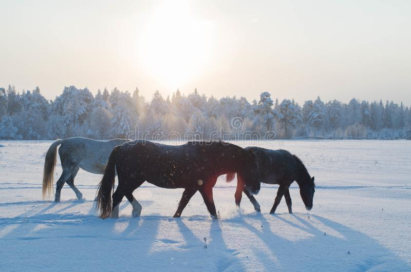 Three horses in the winter. Three horses graze in a snowy field in winter. They are illuminated by the bright midday sun. Flying snow stock photography