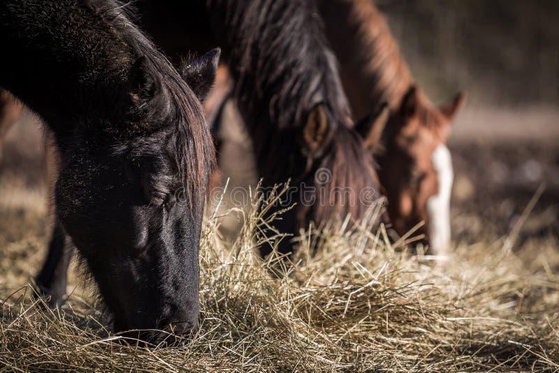 Three horses grazing on hay royalty free stock photo