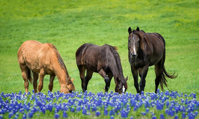 Three horses grazing in Texas bluebonnets in spring royalty free stock image