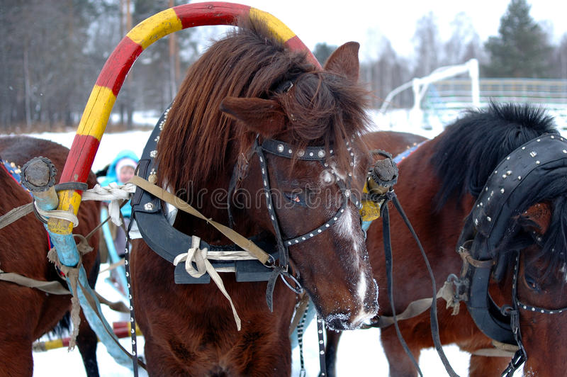 Download Three Horses Harnessed Abreast (troika). Stock Photo - Image: 14131076