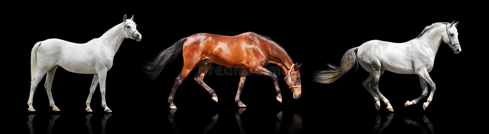 Download Three horses isolated stock image. Image of free, gray - 10982293