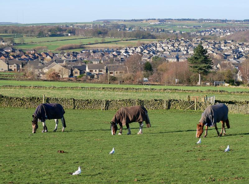 Three horses in line grazing royalty free stock photo