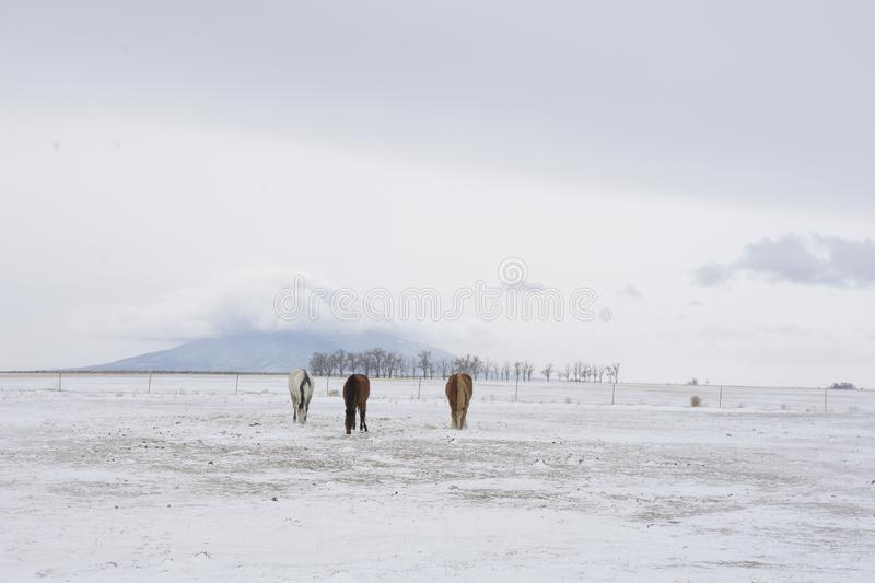 Three horses with ute mountain in winter stock photos