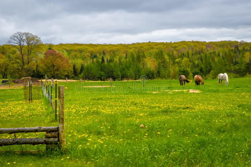 Three Horses Grazing in a Farm Pasture. Three horses out in the distance grazing in a farm pasture that is filled with yellow dandelions in the spring.  There is stock image