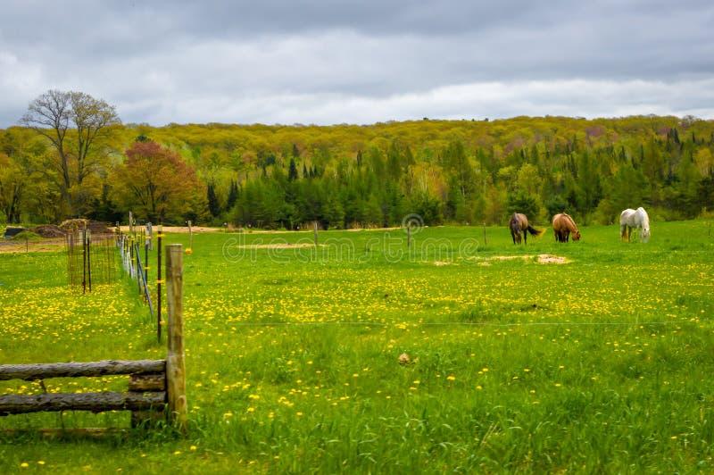 Three Horses Grazing in a Farm Pasture stock image