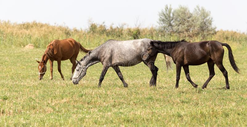 Three horses in a pasture in nature royalty free stock photos