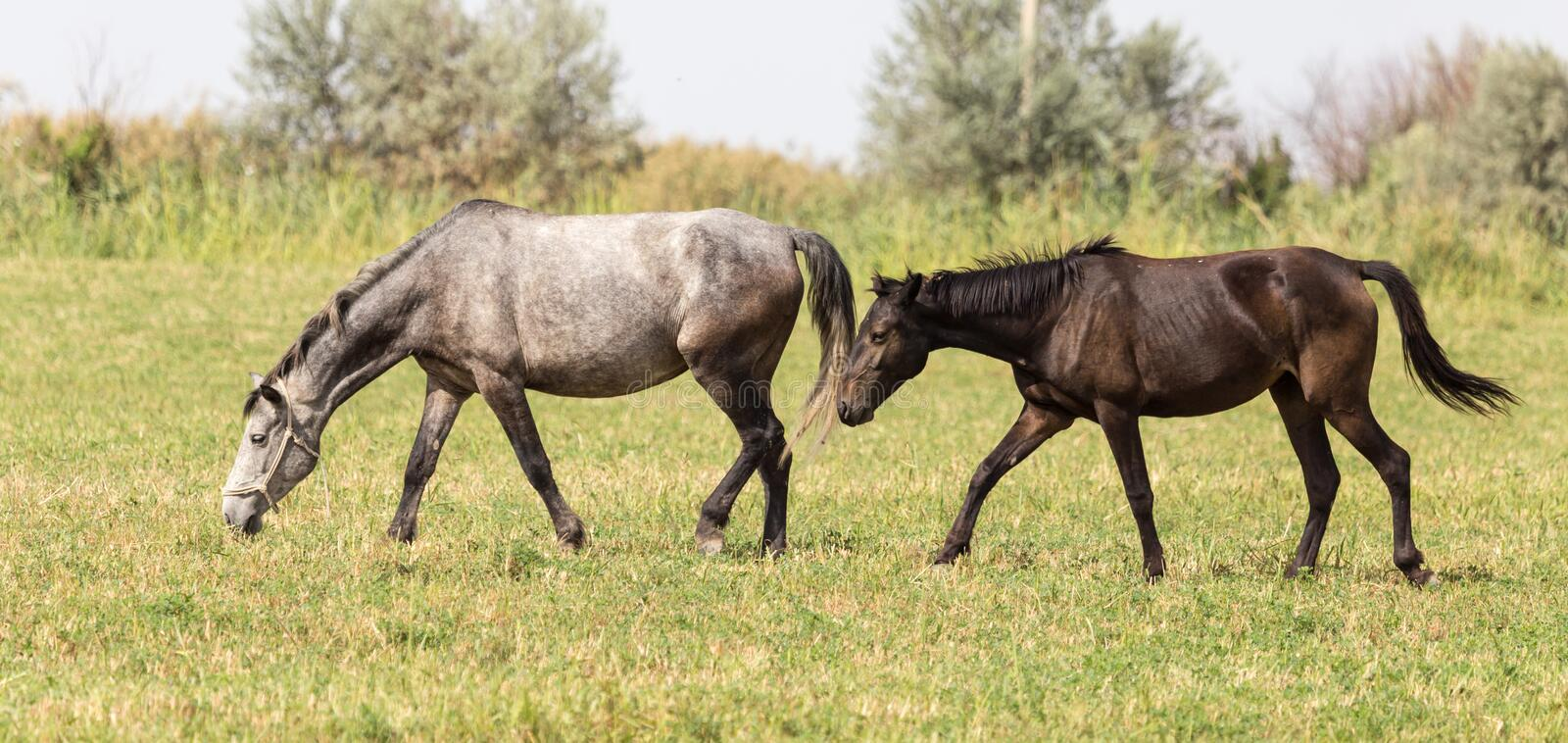 Three horses in a pasture in nature stock image