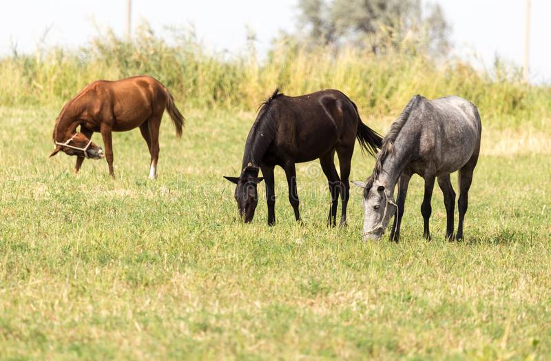 Three horses in a pasture in nature stock photography