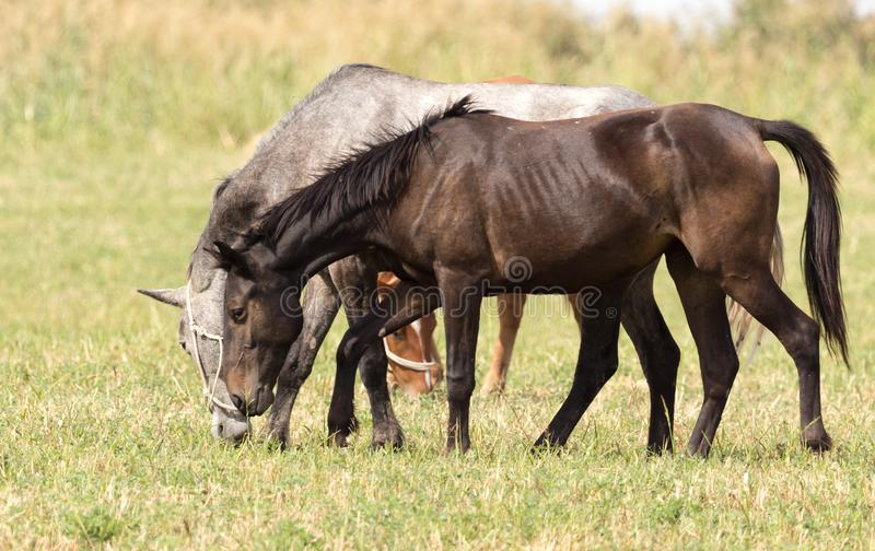 Three horses in a pasture in nature royalty free stock photography