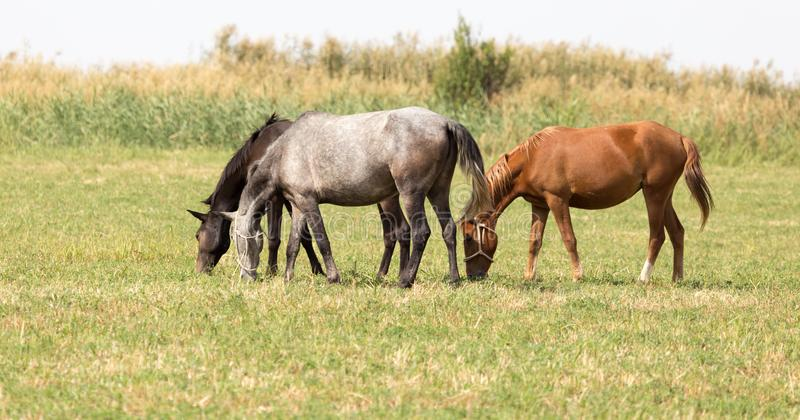 Three horses in a pasture in nature royalty free stock images
