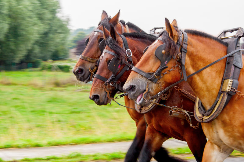 Three horses pulling a yoke and running fast royalty free stock photo