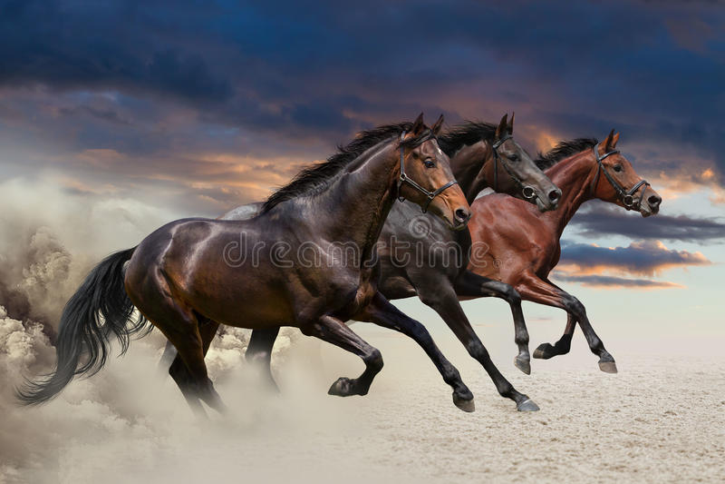 Three horses running at a gallop stock images
