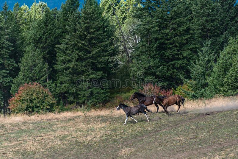 Three horses running in a pasture bordered by a forest, Eastern Washington State, USA stock photo