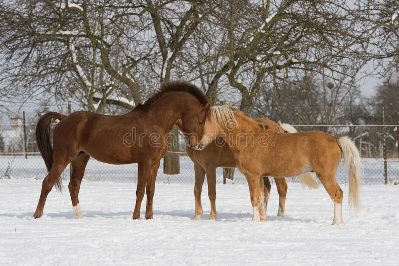 Three horses in snowy landscape royalty free stock photography